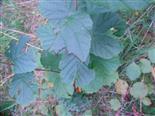 Larven einer Blattwespe(Tenthredinidae) beim Fraß