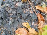 Nymphen der Waldgrille(Nemobius sylvestris(Bosc. 1792)))