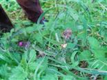 Herbstspinne(Metallina segmentatat(Clerck 1757))