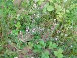 dorniger Hauhechel(Ononis spinosa(L.))