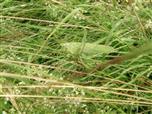 Grünes Heupferd(Tettigonia viridissima(L. 1758))