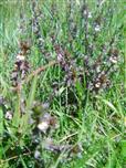 Gemeiner Augentrost(Euphrasia rostkoviana(Hayne))