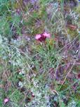 Karthäusernelke(Dianthus carthusianorum(L.))