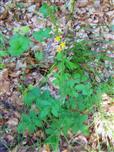 Gemeiner Odermennig(Agrimonia eupatoria(L.))