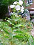 Hoher Stauden-Phlox(Phlox paniculata(L.))