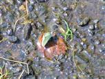 Kleiner Kohweißling(Pieris rapae(L. 1758)) an einer