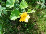 Kürbisblüte(Cucurbita(L.))