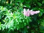 Spierstrauch(Spiraea(L.))