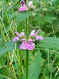 Wald-Ziest(Stachys sylvatica(L.))