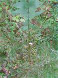 Larve der Braunwurz-Blattwespe(Tenthredo scrophulariae)