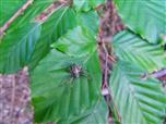 Gartenkreuzspinne(Araneus diadematus(Clerck 1757))