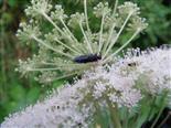 Halmwespe(Pflanzenwespe) Cephidae
