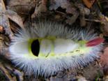 Raupe des Buchen-Streckfußes(Calliteara pudibunda(L. 1758))