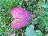 Blatt eines Hufflattichs(Tussilago farfara(L.)) im Herbst
