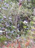 Leichter Sturmschaden an einer Traubeneiche(Quercus petraea(Liebl.))