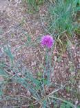 Schnittlauch in Blüte(Allium schoenoprasum(L.))