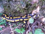 Gebänderter Feuersalamander(Salamandra salamandra terrestris(L. 1758))