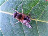 Mistbiene(Eristalis tenax(L. 1758))