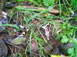 Geweihförmige Holzkeule(Xylaria hypoxylon(Grev.))