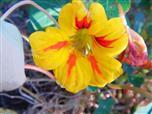 Blüte der kleinen Kapuzinerkresse(Tropaeolum minus(L.))