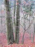 Gemeinsam sind wir stärker! Rotbuche(Fagus sylvatica(L.))