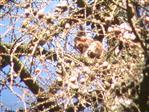 Eichhörnchen(Sciurus vulgaris(L. 1758))