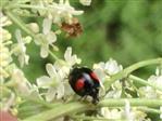 asiatischer Marienkäfer(Farbmorphe)(Harmonia axyridis(Pallas 1771))
