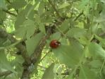 asiatischer Marienkäfer(weitere Farbmorphe)(Hamonia axyridis(Pallas 1771))