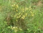 Besenginster(Cytisus scoparius(Link))