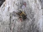 Westliche Honigbiene (1)(Apis mellifera(L. 1758))
