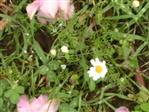 Geruchlose Kamille(Tripleurospermum maritimum subsp. inodorum(M.Lainz))