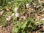 Schlangen-Knöterich(Bistorta officinalis(Delarbre))
