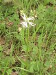Kuckucks-Lichtnelke weißblühend(Lychnis flos-cuculi(L.))