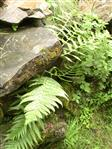 Wurmfarn(Dryopteris filix-mas(Adans.))