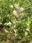 Borretsch(Borago officinalis(L.))