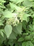Große Brennessel blühend(Urtica dioica(L.))
