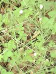Schaumnester von Zikaden(Homoptera) an Grashalmen