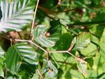 Buchengallmücke(Mikiola fagi(Cecidomyiidae(Gallmücken))