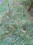Mutterkornpilz(Claviceps purpurea) an Ähre