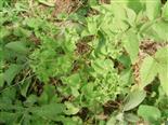 Garten-Wolfsmilch(Euphorbia pepulus(L.))