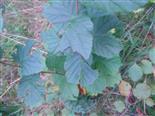 Larven einer Blattwespe beim Fraß an Haselnuss
