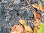 Nymphe einer Waldgrille(Nemobius sylvestris(Bosc. 1792)) weiblich