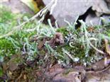 Pfriemen-Geweihflechte(Cladonia subulata(Weber; F.H. Wigg.))