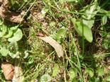Gemeine Feuerwanze(Pyrrhocoris apterus(Amyot&Serville 1843))