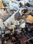 Keimling einer Rotbuche(Fagus sylvatica(L.))
