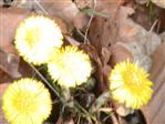 Huflattich(Tussilago farfara(L.))