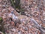 Rotfuchs(Vulpes vulpes(L. 1758)) Fähe(weiblicher Fuchs) vermutlich Verkehrsopfer