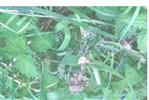 Herbstspinne(Metellina segmentata(Clerck 1757))