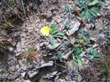 Kleines Habichtskraut(Hieracium pilosella(L.))