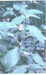 Großes Springkraut(Impatiens noli-tangere(L.))
